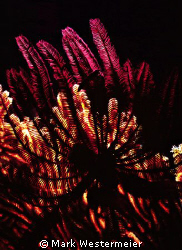 Crinoids - Image taken in Northern Fiji Islands with a Ni... by Mark Westermeier 